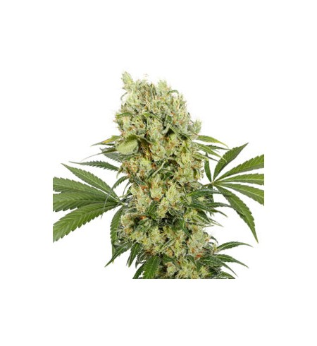 Medikit CBD Buddha Seeds