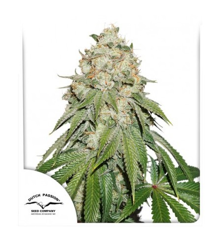 Banana Blaze - dutch passion