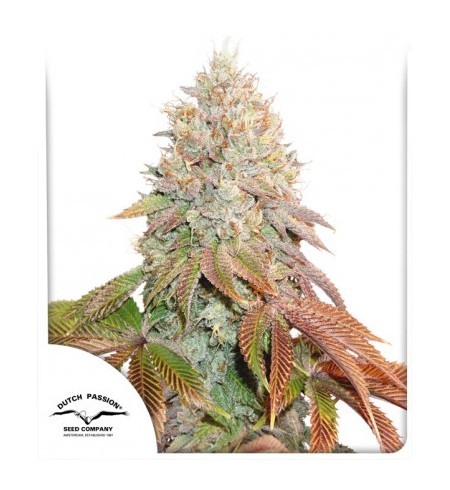 Auto Banana Blaze 3szt - DUTCH PASSION