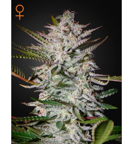 Holy Punch - GREEN HOUSE SEEDS