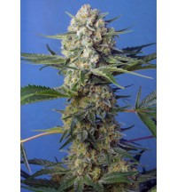 Crystal Candy F1 - SWEET SEEDS