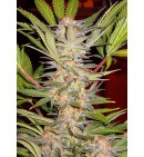 S.A.D. FAST VERSION F1 - SWEET SEEDS